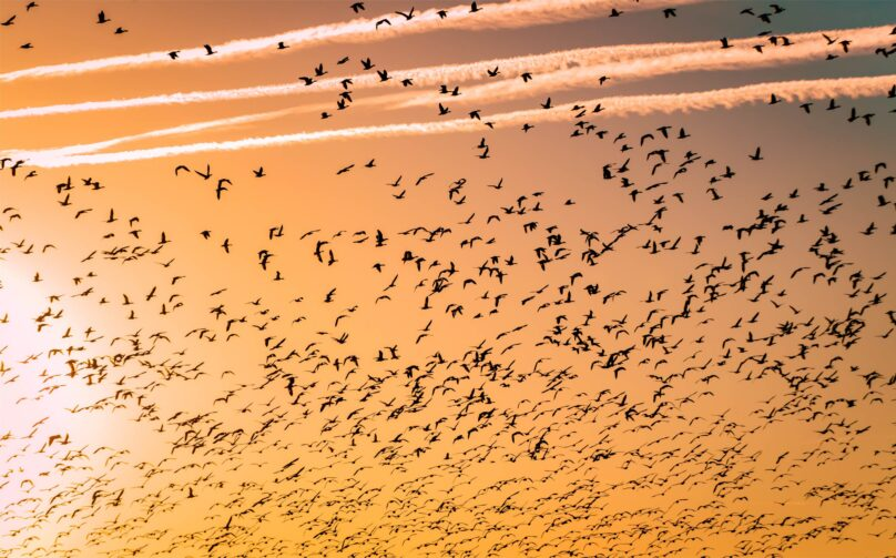 8946004323368_Barth Bailey_Bird migration@0.5x-50