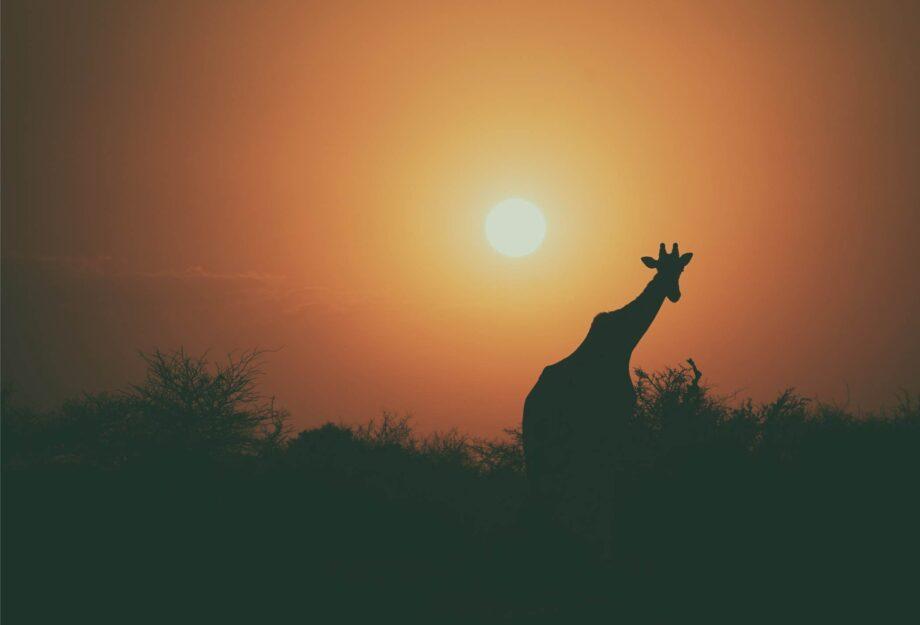 8946004323412_Jonathan Pie_Sunset Giraffe@0.5x-50