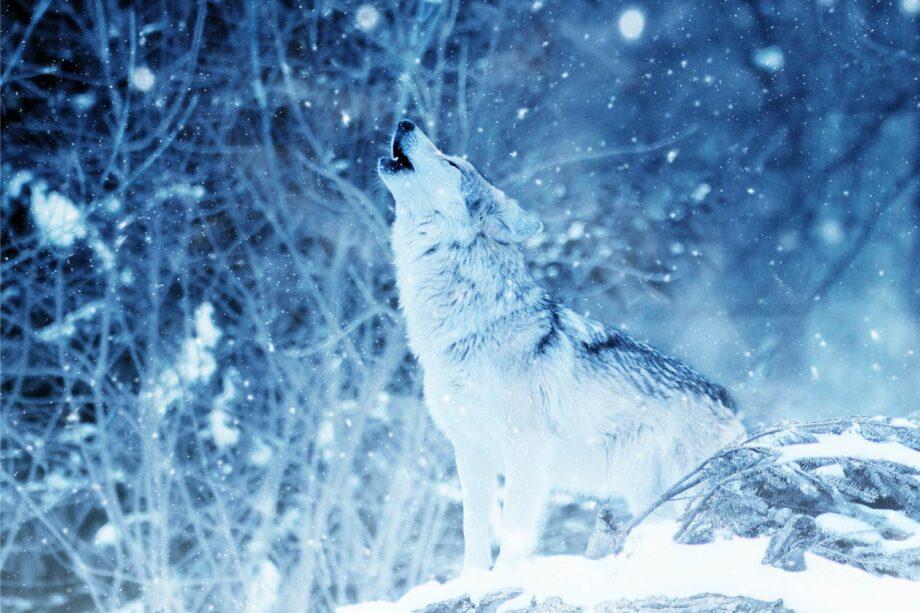 8946004323429_Unknown_White wolf@0.5x-50