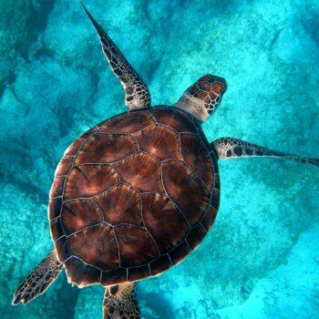 glasschilderij schildpad