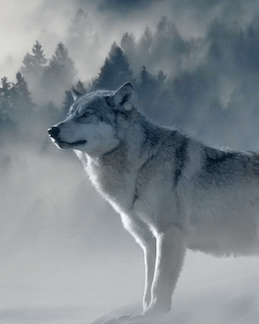 Foggy wolves