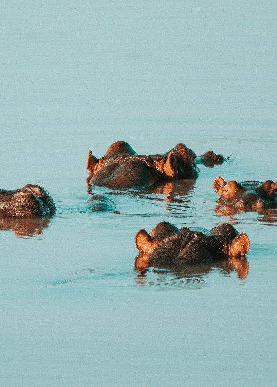 Hippos-min
