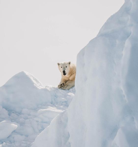 Polar-bear-min